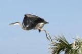 20120702 Great Blue Heron Fleging   _4598.jpg