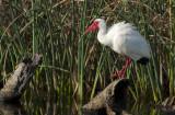 20120702 White Ibis in Breeding Colors   _4555.jpg