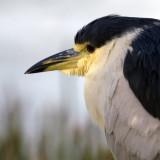 Black-crowned Night Heron   9428