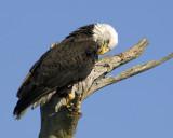 Bald Eagle   0900