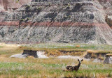 Badlands Deer