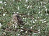 Burrowing Owl DSC01318HX100