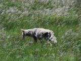 Coyote Yellowstone Wy