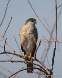 Sharp-chinned Hawk
