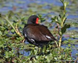 Commmon Moorhen (Gallinule)