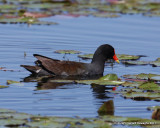 Common Moorhen (Gallinule)