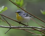 Norther Parula