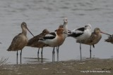 American Avocets & Marbled Godwits