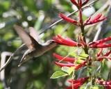 Ruby-thraoted Hummingbird
