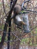 Squirrel 2/4