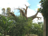BAOBAB - a most extraordinary tree