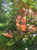 Autumn Colours In June?