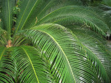 Palm Leaves - Sago Palm according to Lynn's identification