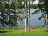 Birches and possibly European Aspens