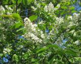 European Bird Cherry / Prunus Padus Is Blooming