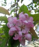 Malus Purpurea / Rosebloom Crabapple