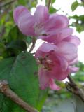 Malus Purpurea 2 / Rosebloom Crabapple
