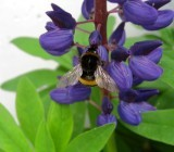 A Bee On The Lupin
