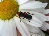 A Beetle on the Marguerite