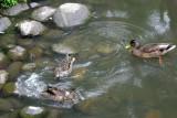 Sporting Ducks