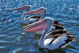 Pelicans and Seagulls at Queenscliff 04/03/2012