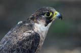 Hawk-like Birds