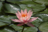Water Lily with Damselfly
