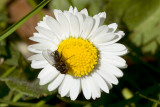 / Flue suger nektar