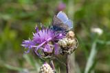 Commen Blue / Alm. Blåfugl