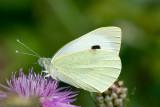 Large White / Stor kålsommerfugl