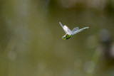 Dragonfly in the air / Guldsmed i flugten
