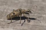 Longhorn Beetle / Blankplettet tandbuk