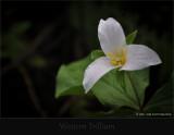 Western Trillium