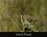 Varied Thrush