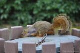 Dumpster diving squirrel
