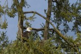 Skinner Butte Eagle