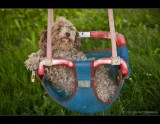 Poodle Swing