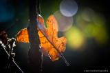 backlit leaf & bokeh