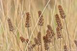 Prunella vulgaris seed pods