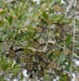 Manarch Butterflies