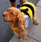 Honeybee Cocker