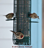 Redpolls at our House