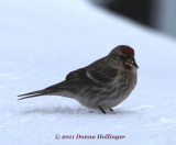 Redpoll on our deck