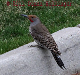 Northern Flicker on the Curb