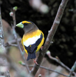 Mr.Evening Grosbeak!