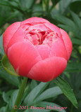 The Perfect Peony Viewed from the Top