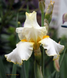 Cream colored Iris with Yellow Border and Beard