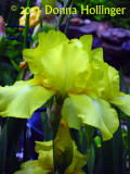 Yellow Bearded Irises