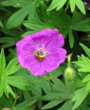 Cranesbill with Gold Bee