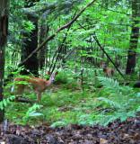 two female deer.0452.jpg